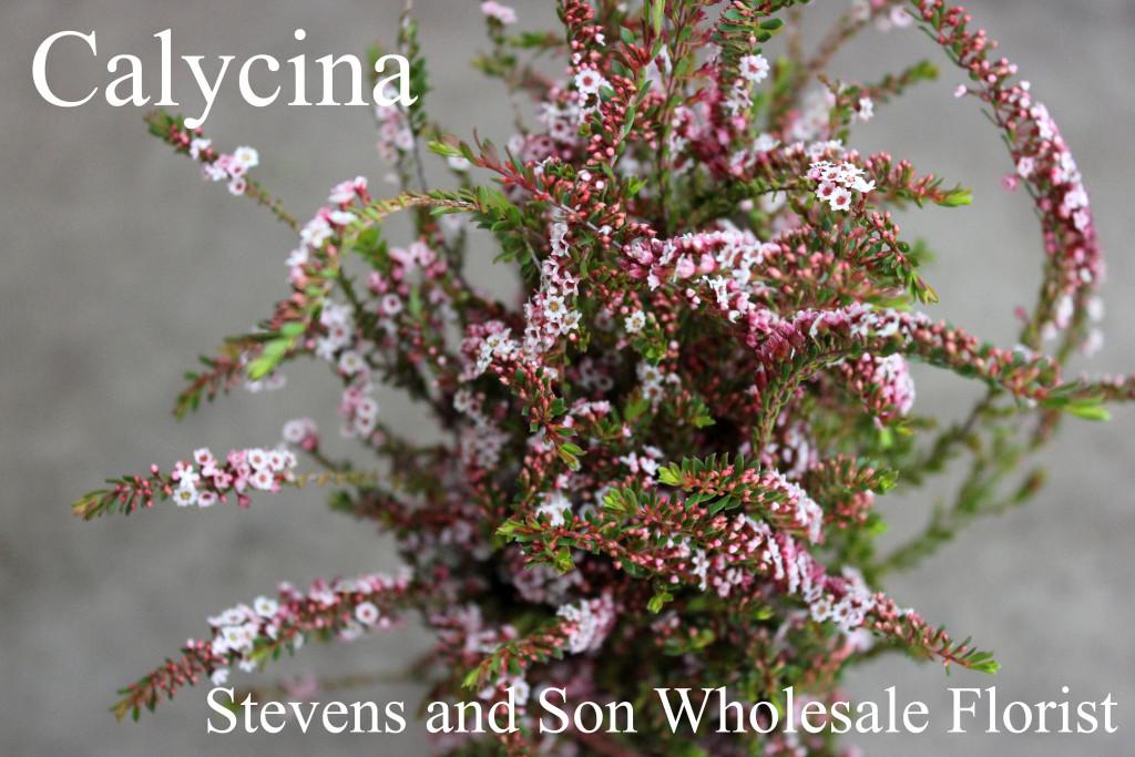 Calycina - Photo Credit Allison Linder