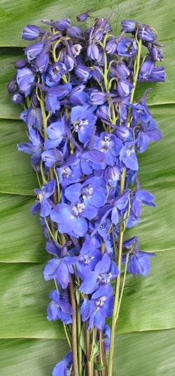Delph-Royal-Dark-Blue52b347cc47b07.jpg