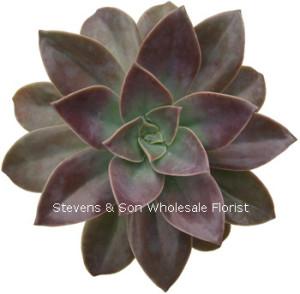 Echeveria_Gibbiflora_Hybrid.jpg