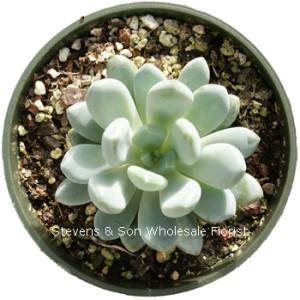 Echeveria_elegans_blue.jpg
