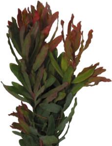 Eximia_Foliage