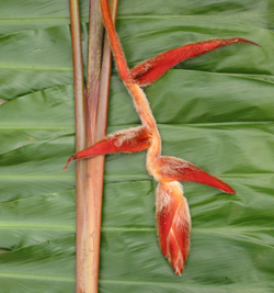 Heliconia-vellerigera