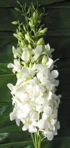 Orchid_Dendrobium_White