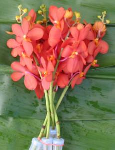 Orchid_Mokara_McKenny_Orang