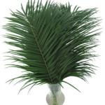 Palm_Phoenix
