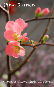 Pink Quince Photo Courtesy Allison Linder