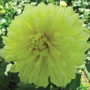 YellowWonder