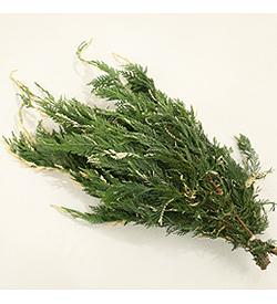 varigated-cypress