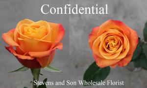 Confidential Rose Photo Credit Allison Linder