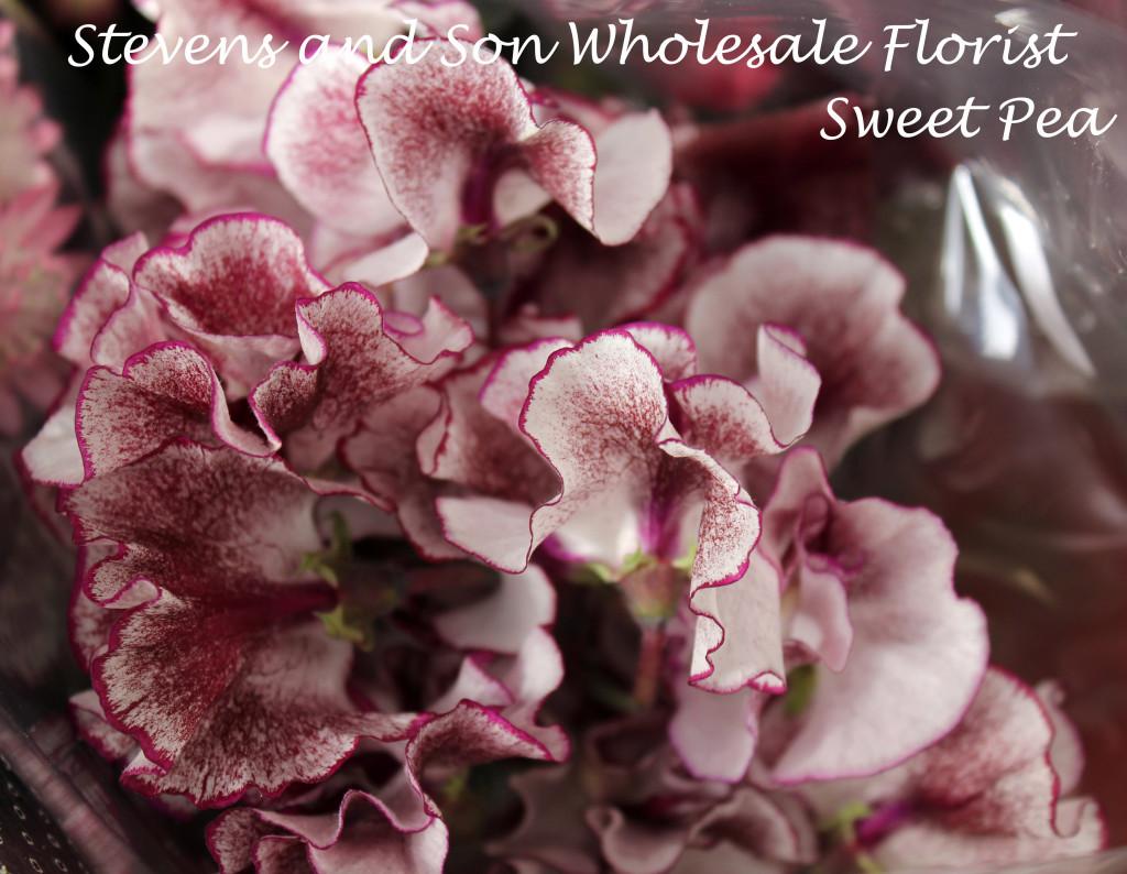 Japanese Sweet Peas Purple-White Photo Courtesy Allison Linder