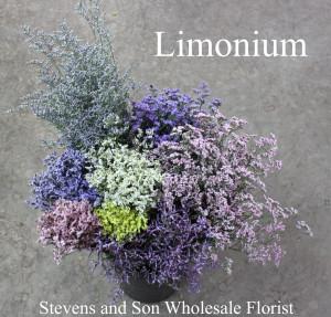 Limonium- Group - Photo Credit Allison Linder