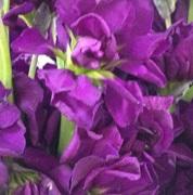Stock Purple