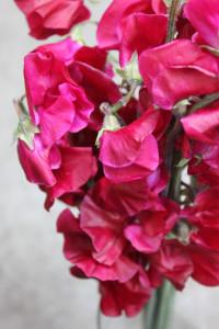 Sweet Pea - Burgundy Close Up - Photo Credit Allison Linder