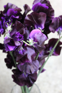 Sweet Pea - Dk Purple Close Up - Photo Credit Allison Linder