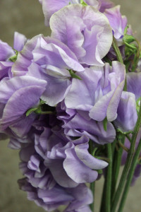 Sweet Pea - Lavender Close Up - Photo Credit Allison Linder