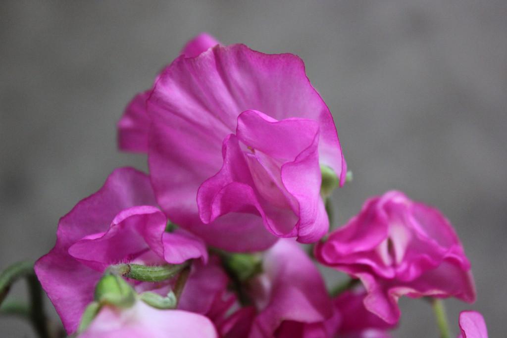 Sweet Pea - Medium Pink Close Up - Photo Credit Allison Linder