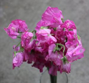 Sweet Pea - Medium Pink - Photo Credit Allison Linder