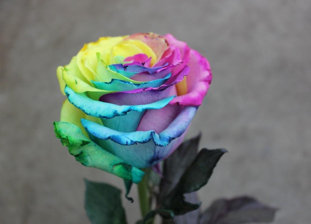 Tinted Rose - Tie Dye, Side View, Photo Credit Allison Linder