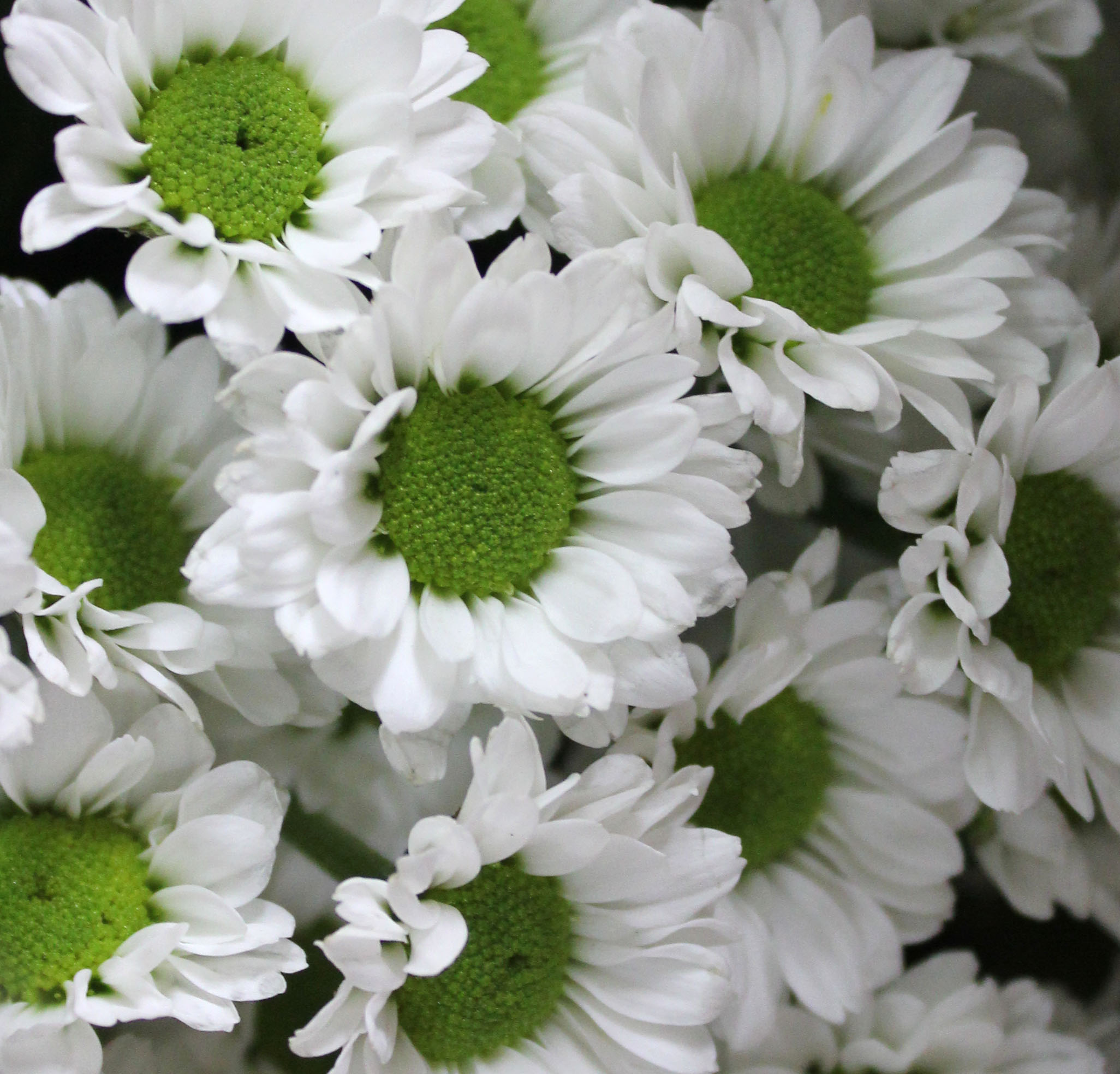 Pom poms spray mums stevens and son wholesale florist white green centre mightylinksfo