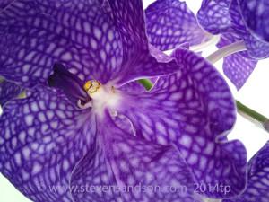 vanda orchid 2