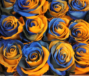 Broncos Roses