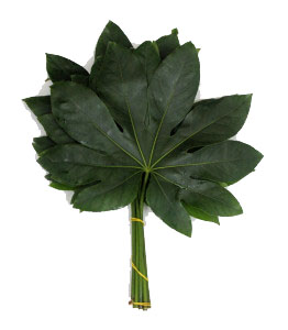 Fatsia Japonica - Green
