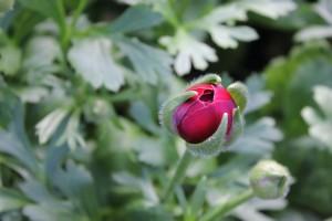 Allison Linder Ranunculus Photo 3