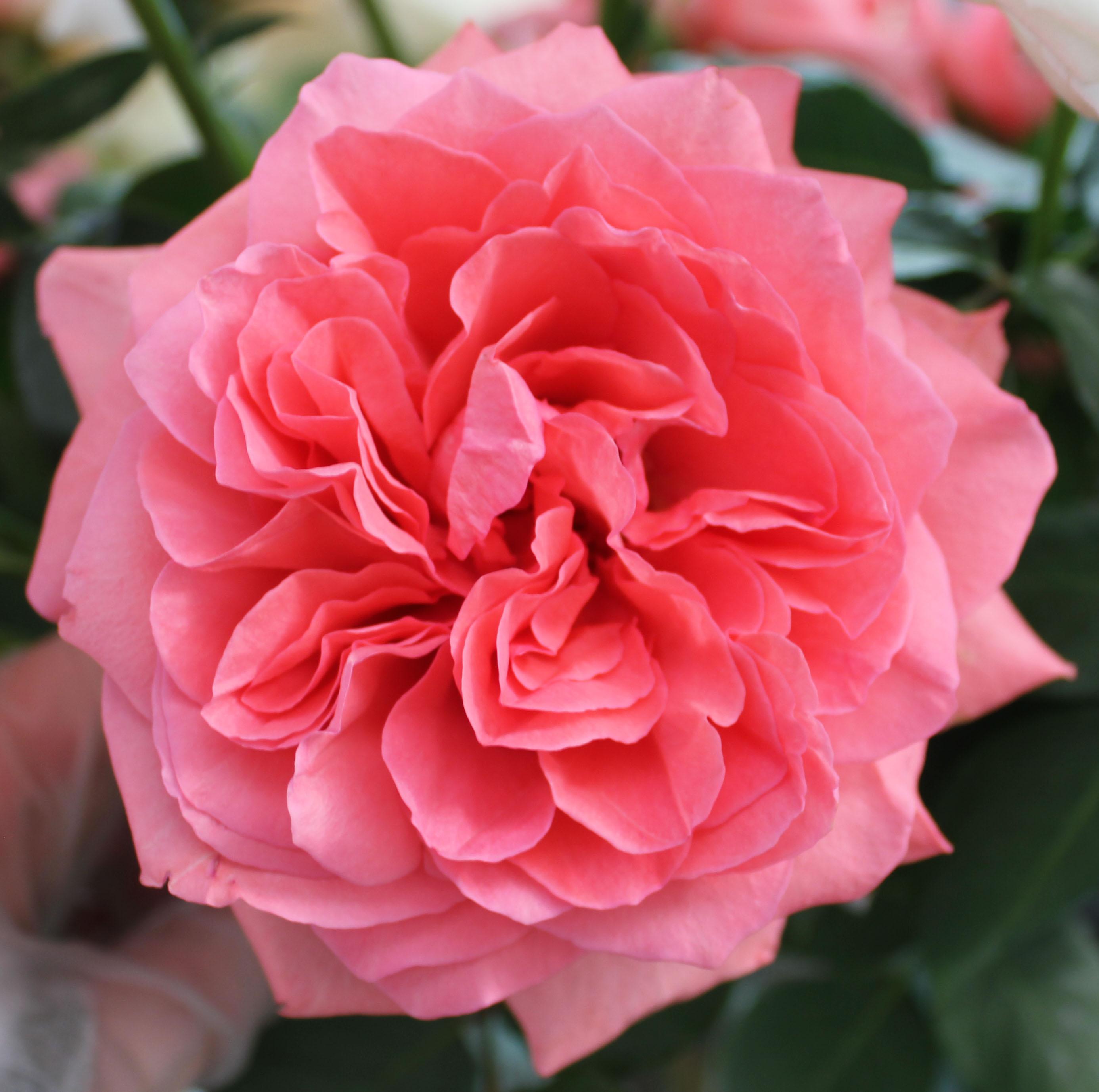 garden roses arthur rimeaud - Garden Rose