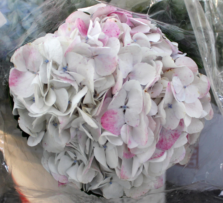Hydrangea_White