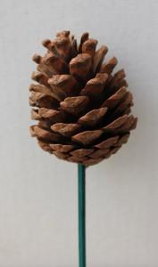 Austrica Pine Cone