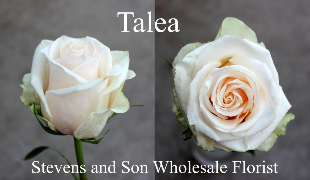 Talea - Photo Credit Allison Linder