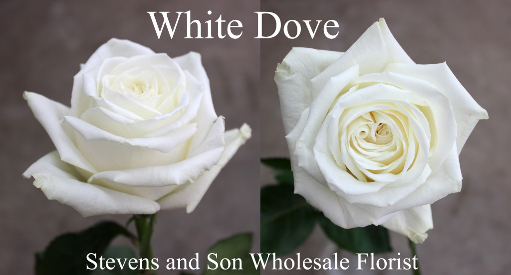White Dove - Photo Credit Allison Linder