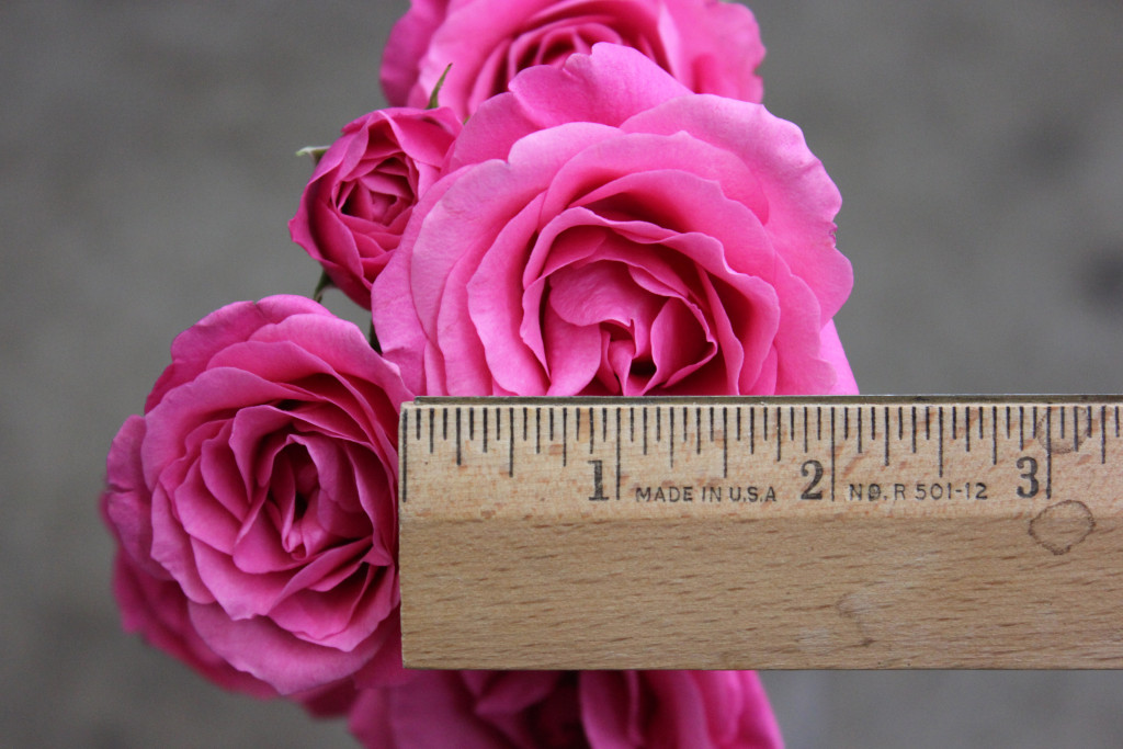 Hot Pink Follies - Measured - Photo Credit Allison Linder