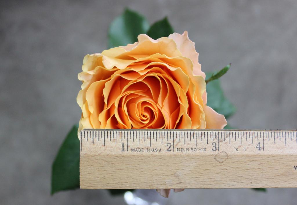 Campanella Peach - Measured - Photo credit Allison Linder
