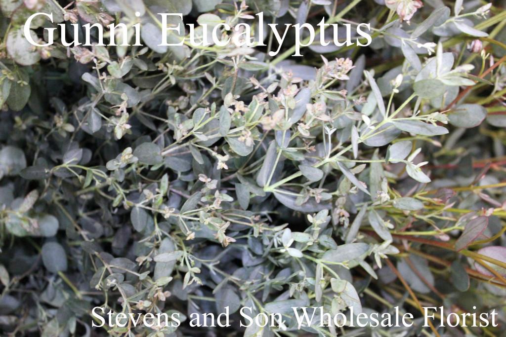 Eucalyptus Stevens And Son Wholesale Florist