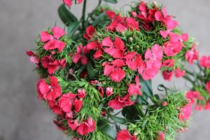 Gypsy Dianthus - Coral - Photo credit Allison Linder