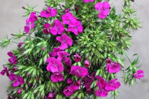 Gypsy Dianthus - Purple - Photo Credit Allison Linder
