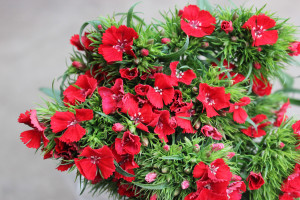 Gypsy Dianthus - Red - Photo Credit Allison Linder