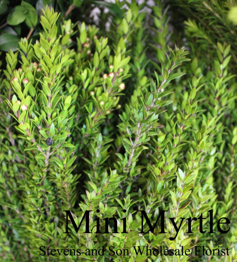 Mini Myrtle - Photo Credit Allison Linder