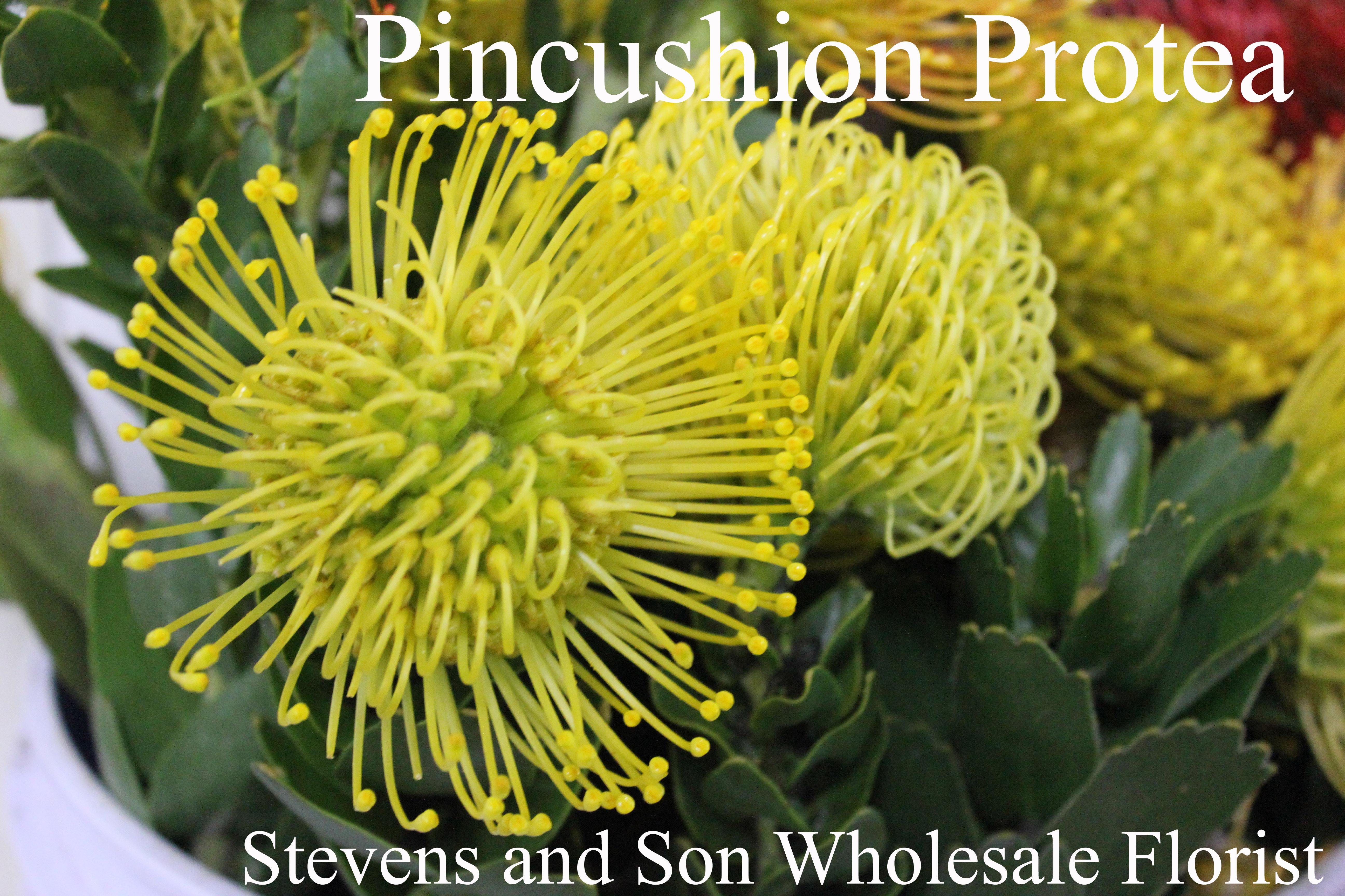 Pincushion Protea Stevens And Son Wholesale Florist
