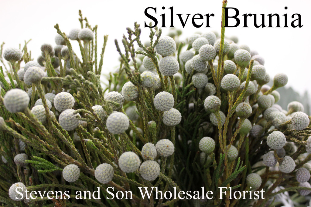 Silver Brunia - Photo Credit Allison Linder