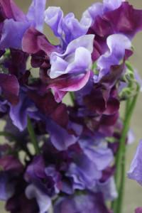 Sweet Pea - Bi Color Purple Lav Detail - Photo Credit Allison Linder