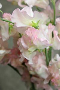 Sweet Pea - Blush Detail - Photo Credit Allison Linder