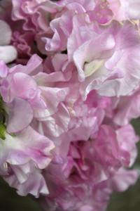 Sweet Pea - Lt Pink Detail - Photo Credit Allison Linder