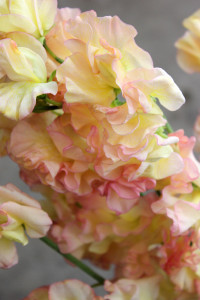 Sweet Pea - Peach Detail - Photo Credit Allison Linder