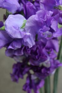 Sweet Pea - Purple Detail - Photo Credit Allison Linder