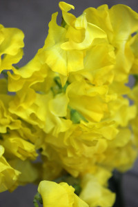 Sweet Pea - Yellow Detail - Photo Credit Allison Linder