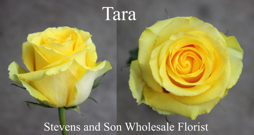Tara - Photo Credit Allison Linder