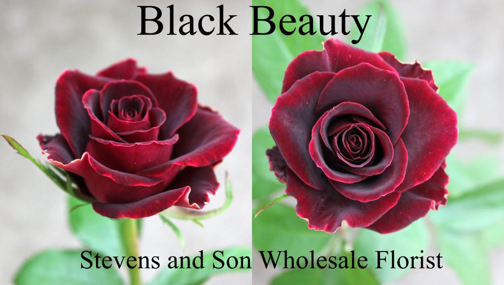 Black Beauty - Photo Credit Allison Linder