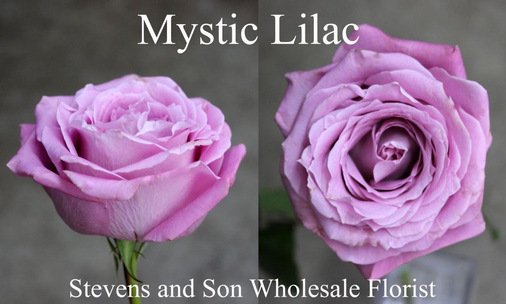 Mystic Lilac - Photo Credit Allison Linder